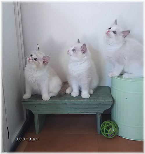 ☆ラグド-ルの仔猫*集合しますか?_c0080132_13205196.jpg