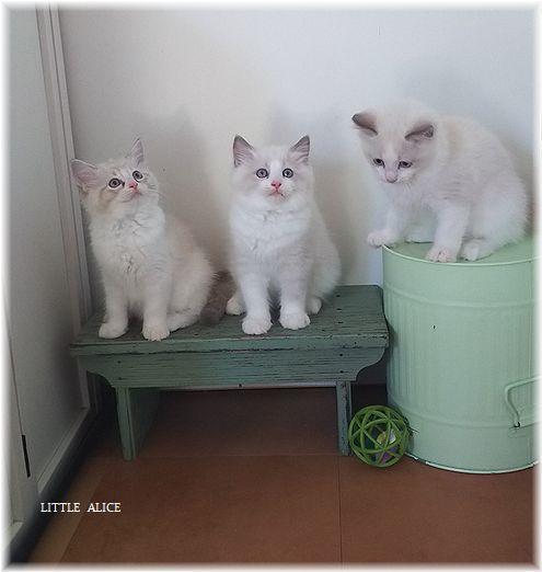 ☆ラグド-ルの仔猫*集合しますか?_c0080132_13215823.jpg