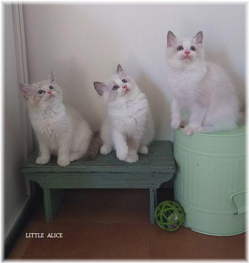 ☆ラグド-ルの仔猫*集合しますか?_c0080132_13222884.jpg
