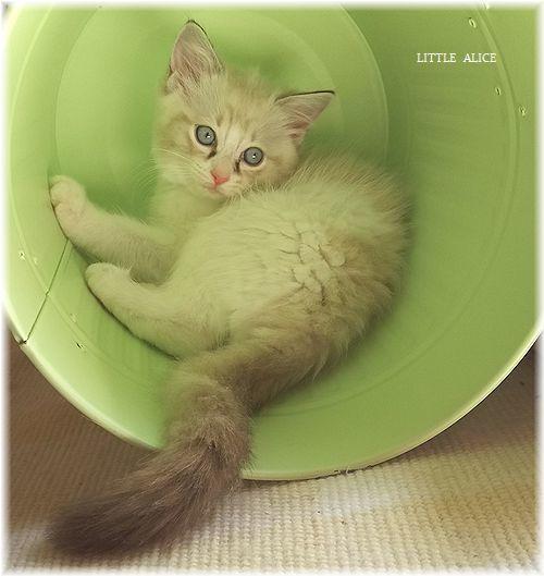 ☆ラグド-ルの仔猫*集合しますか?_c0080132_13261495.jpg