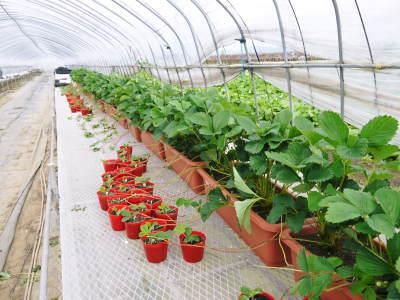 完熟紅ほっぺ まもなく定植!栽培ハウスの今の様子と元気な苗床の苗!こだわりの減農薬栽培で育てます!_a0254656_17201878.jpg