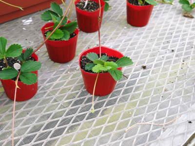 完熟紅ほっぺ まもなく定植!栽培ハウスの今の様子と元気な苗床の苗!こだわりの減農薬栽培で育てます!_a0254656_18250385.jpg