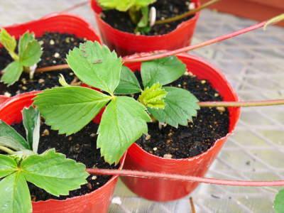 完熟紅ほっぺ まもなく定植!栽培ハウスの今の様子と元気な苗床の苗!こだわりの減農薬栽培で育てます!_a0254656_18273793.jpg