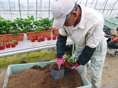 完熟紅ほっぺ まもなく定植!栽培ハウスの今の様子と元気な苗床の苗!こだわりの減農薬栽培で育てます!_a0254656_18461668.jpg