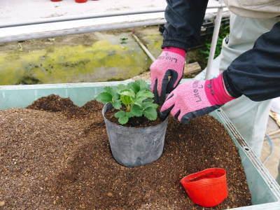 完熟紅ほっぺ まもなく定植!栽培ハウスの今の様子と元気な苗床の苗!こだわりの減農薬栽培で育てます!_a0254656_18494709.jpg