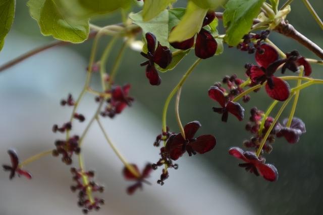 5月3日 ミツバアケビの花 、キクザキイチゲ_c0124100_00230900.jpg