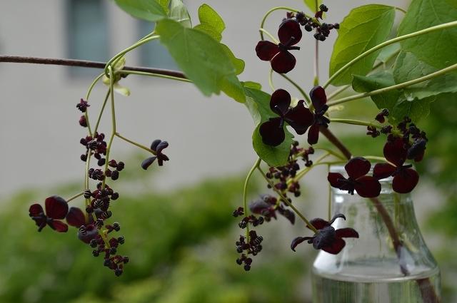5月3日 ミツバアケビの花 、キクザキイチゲ_c0124100_00231451.jpg