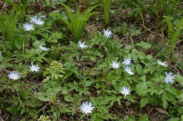 5月3日 ミツバアケビの花 、キクザキイチゲ_c0124100_00241320.jpg