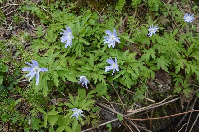 5月3日 ミツバアケビの花 、キクザキイチゲ_c0124100_00241600.jpg