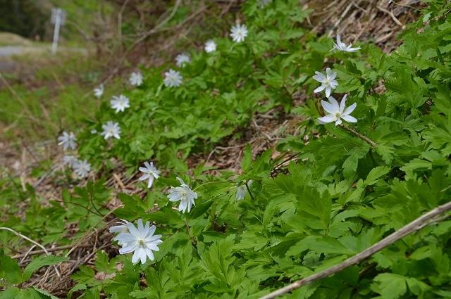 5月3日 ミツバアケビの花 、キクザキイチゲ_c0124100_00242760.jpg