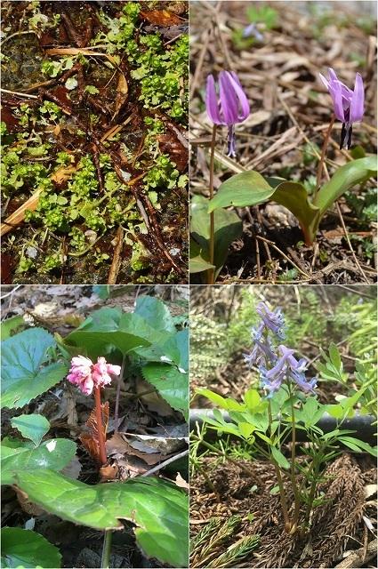 5月2-3日 山菜採りの合間に、野草たち_c0124100_15253619.jpg