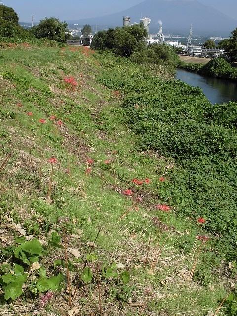 滝川の彼岸花は満開です! 明日はJR東田子の浦駅から歩く「彼岸花ウォーク」へ!_f0141310_07340028.jpg