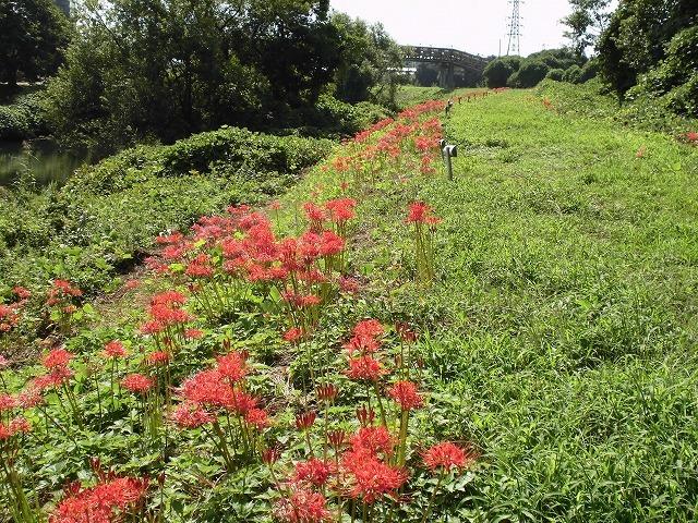 滝川の彼岸花は満開です! 明日はJR東田子の浦駅から歩く「彼岸花ウォーク」へ!_f0141310_07341014.jpg