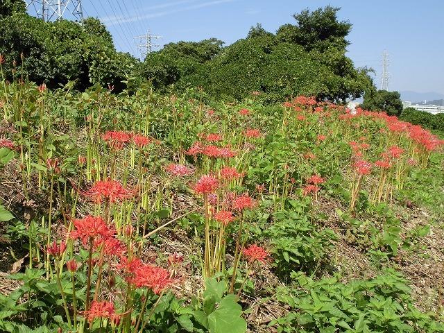 滝川の彼岸花は満開です! 明日はJR東田子の浦駅から歩く「彼岸花ウォーク」へ!_f0141310_07344868.jpg