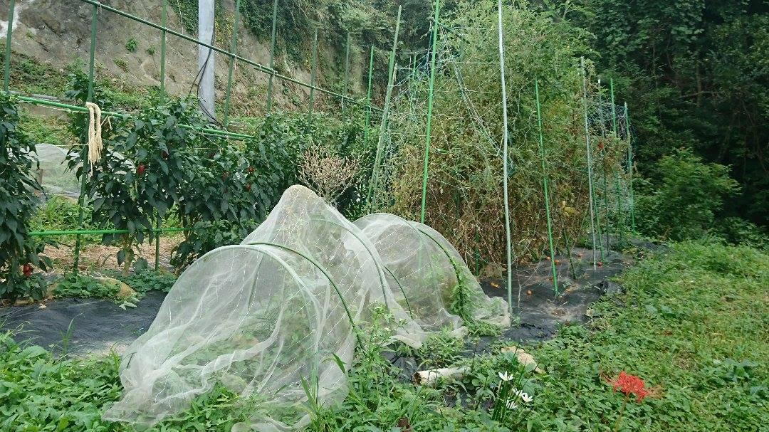 栗と、秋冬野菜植えと、ツルーシー。_a0125419_05265091.jpg