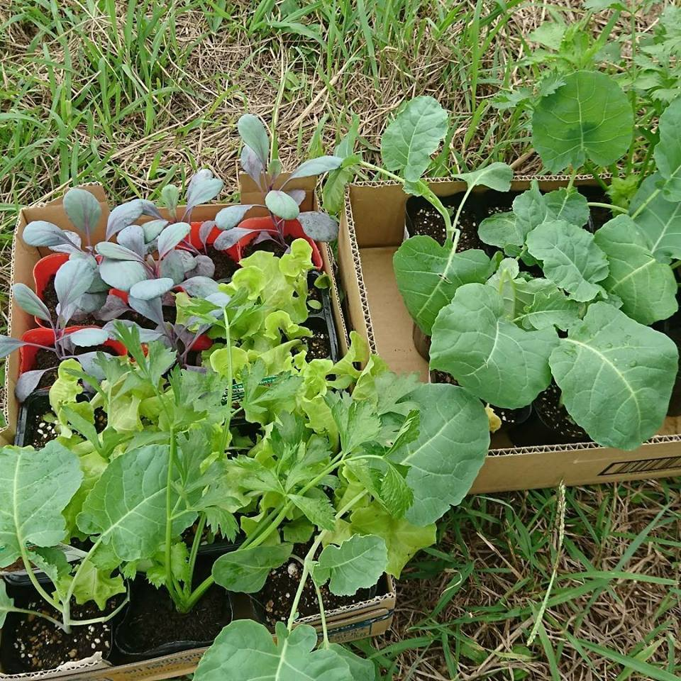 栗と、秋冬野菜植えと、ツルーシー。_a0125419_05273626.jpg