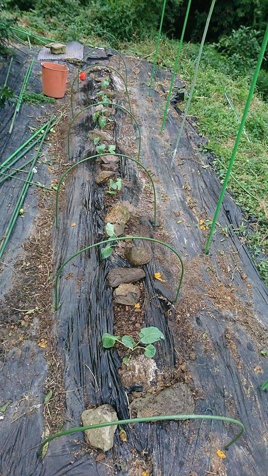栗と、秋冬野菜植えと、ツルーシー。_a0125419_05280769.jpg