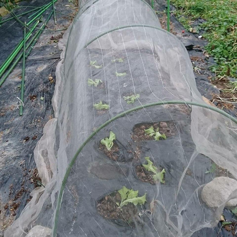 栗と、秋冬野菜植えと、ツルーシー。_a0125419_05293382.jpg