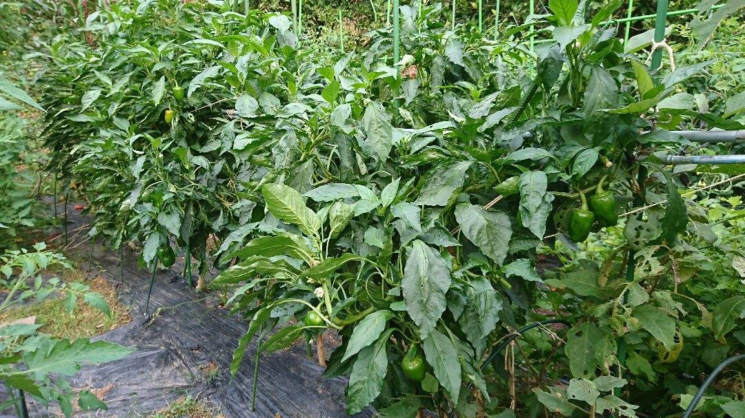 栗と、秋冬野菜植えと、ツルーシー。_a0125419_05362493.jpg