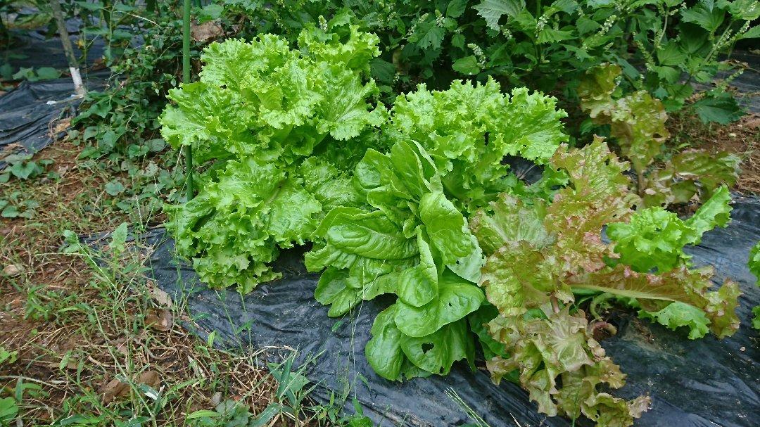 栗と、秋冬野菜植えと、ツルーシー。_a0125419_05460128.jpg
