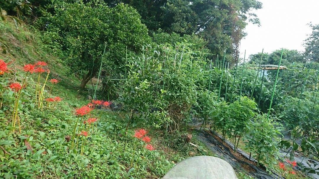 栗と、秋冬野菜植えと、ツルーシー。_a0125419_05505991.jpg