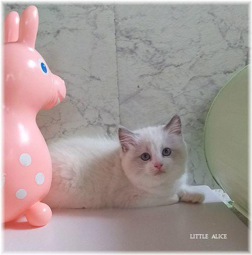 ☆ラグド-ルの仔猫*おもちゃ争奪戦。_c0080132_13334700.jpg