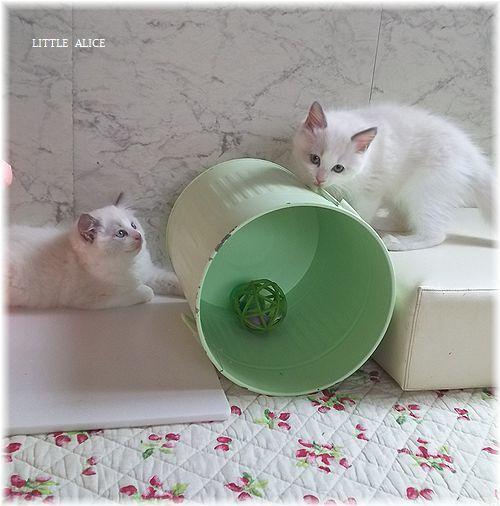☆ラグド-ルの仔猫*おもちゃ争奪戦。_c0080132_13341189.jpg