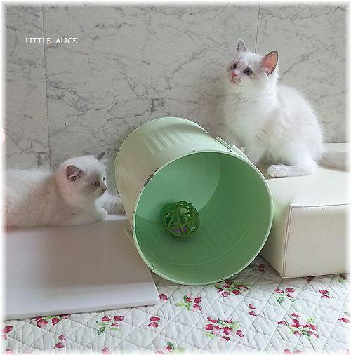 ☆ラグド-ルの仔猫*おもちゃ争奪戦。_c0080132_13345499.jpg