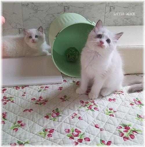 ☆ラグド-ルの仔猫*おもちゃ争奪戦。_c0080132_13352998.jpg