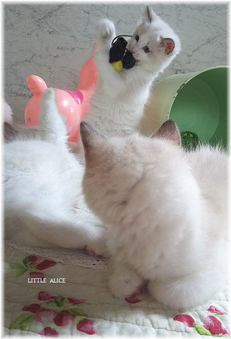 ☆ラグド-ルの仔猫*おもちゃ争奪戦。_c0080132_13382282.jpg