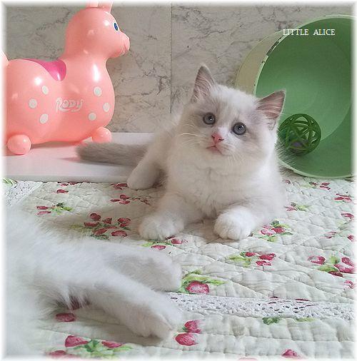 ☆ラグド-ルの仔猫*おもちゃ争奪戦。_c0080132_13405549.jpg