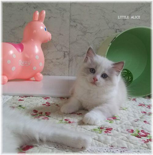 ☆ラグド-ルの仔猫*おもちゃ争奪戦。_c0080132_13410327.jpg