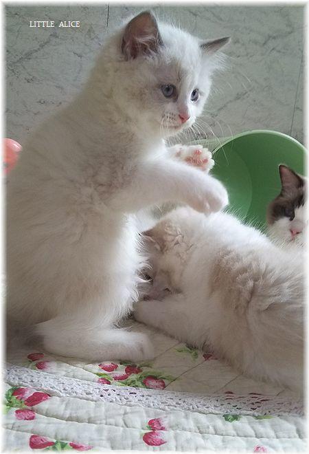 ☆ラグド-ルの仔猫*おもちゃ争奪戦。_c0080132_13423585.jpg
