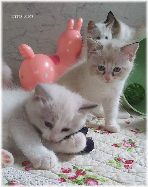 ☆ラグド-ルの仔猫*おもちゃ争奪戦。_c0080132_13445958.jpg