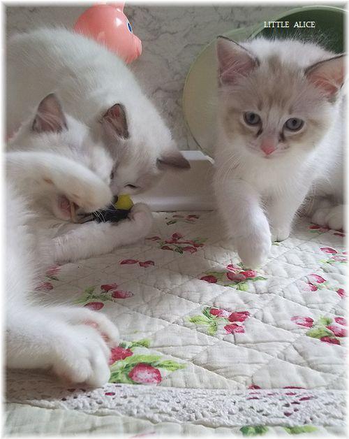 ☆ラグド-ルの仔猫*おもちゃ争奪戦。_c0080132_13453589.jpg