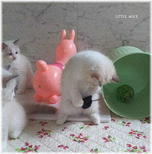 ☆ラグド-ルの仔猫*おもちゃ争奪戦。_c0080132_13455786.jpg