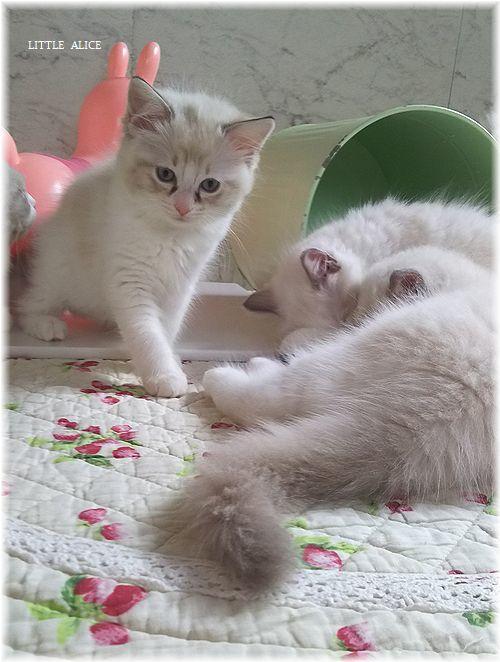 ☆ラグド-ルの仔猫*おもちゃ争奪戦。_c0080132_13474340.jpg