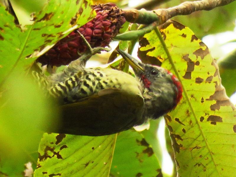 野鳥トレ92 アオゲラ_b0227552_19214164.jpg