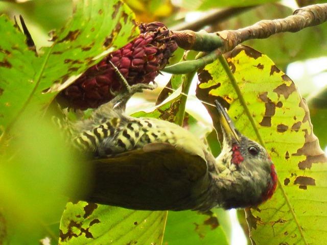 野鳥トレ92 アオゲラ_b0227552_19215145.jpg