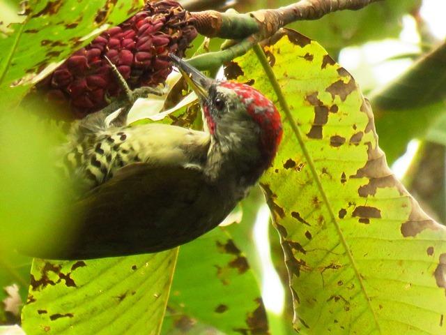 野鳥トレ92 アオゲラ_b0227552_19220146.jpg