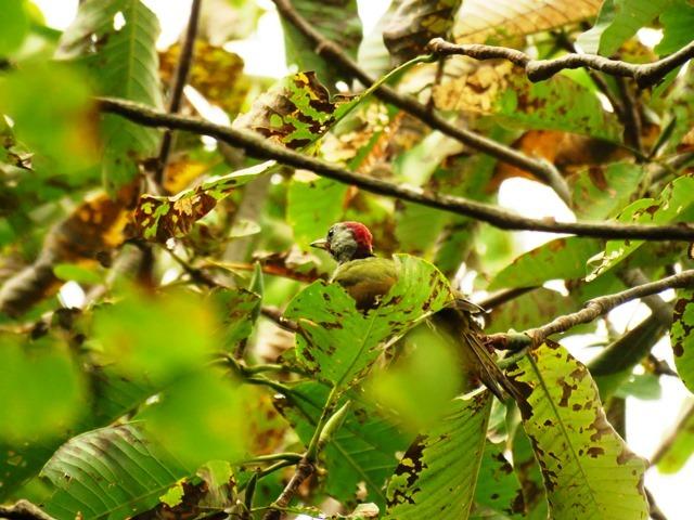 野鳥トレ92 アオゲラ_b0227552_19221047.jpg