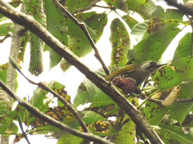 野鳥トレ92 アオゲラ_b0227552_19222348.jpg