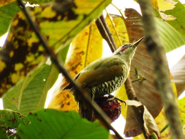 野鳥トレ92 アオゲラ_b0227552_19223278.jpg
