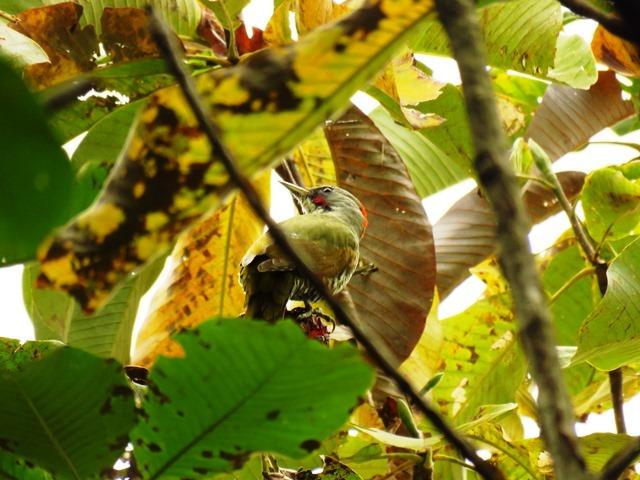 野鳥トレ92 アオゲラ_b0227552_19224112.jpg