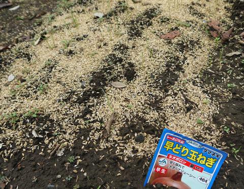 秋ジャガ(ワセシロ)土寄せ、サニーレタス植え付け9・20_c0014967_20163117.jpg