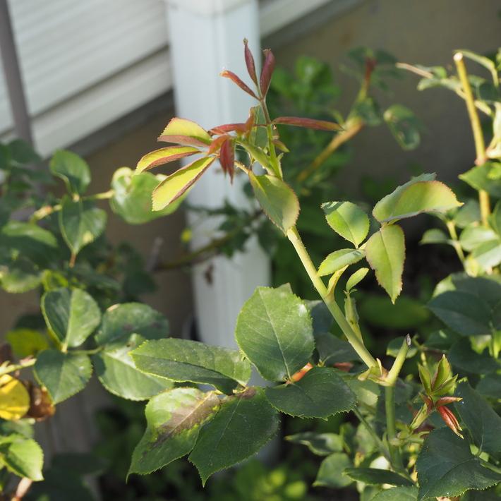 バラの鉢植え栽培_a0292194_18575220.jpg