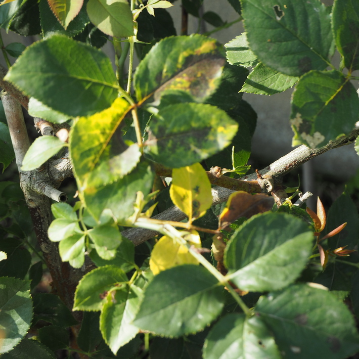 バラの鉢植え栽培_a0292194_18585830.jpg