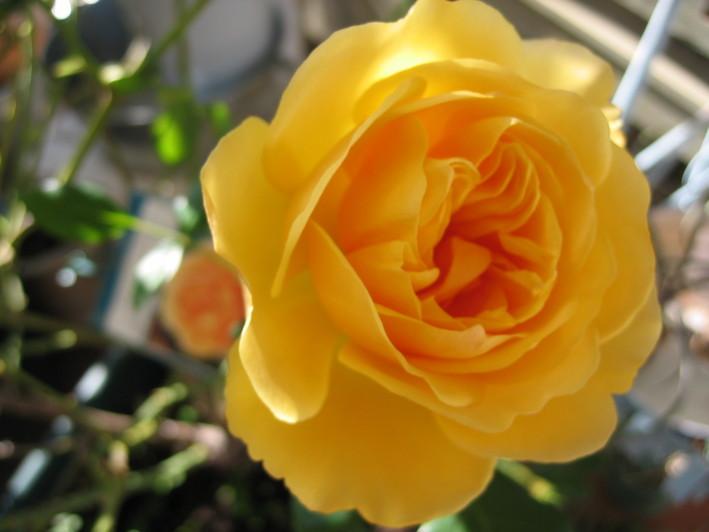 バラの鉢植え栽培_a0292194_1973295.jpg