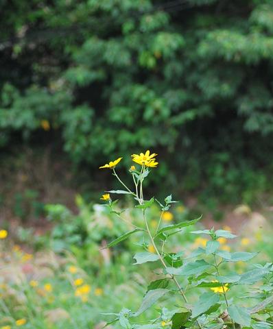 9/24 キクイモかな - 「あなたに似た花。」