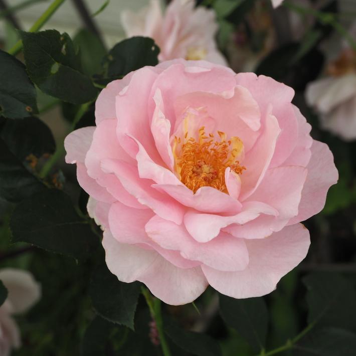 バラの鉢植え栽培_a0292194_16163411.jpg